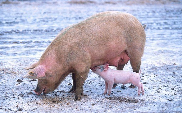 Pigs that consumed a fiber-rich diet and a bacterial probiotic supplement reduced their manure output by 20 percent, gained more weight, and had better blood cholesterol and glucose levels. Photo by Scott Bauer.