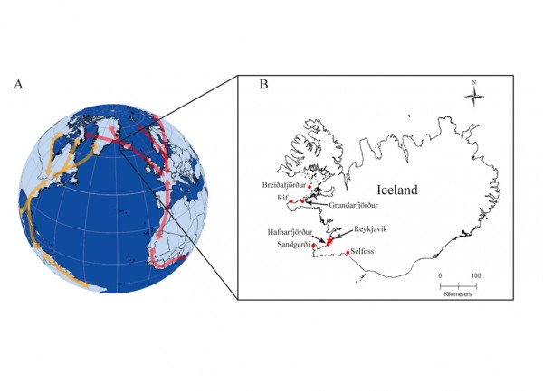 A. Arrows show generalized movements of birds in particular flyways. Red arrows show general movements in the East Atlantic Flyway and yellow arrows show general movement in the North American Atlantic Flyway. Most birds use only portions of the flyways, which are determined mostly by species and by origin of breeding populations. B. Red dots show the locations of where birds were sampled in the study. Reykjavik is shown for reference. Samples from some locations (Breiðafjörður and Selfoss) were obtained over a larger area than shown because samples were provided by hunters and fishermen within the region.