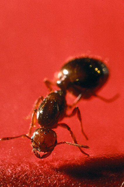 Fire ant. Photo by ARS Information Staff.