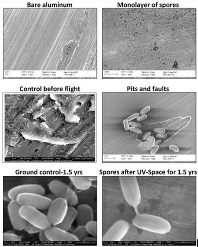 These are electron micrographs of Bacillus pumilus SAFR-032 spores on aluminum before and after exposure to space conditions. Credit: [Reproduced with permission from P. Vaishampayan et al., Survival of Bacillus pumilus Spores for a Prolonged Period of Time in Real Space Conditions. Astrobiology Vol 12, No 5, 2012.]