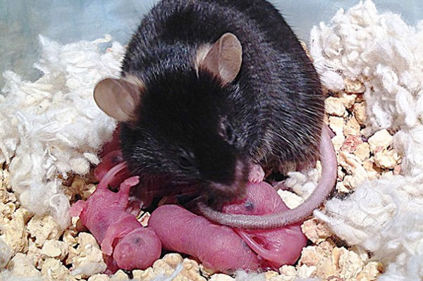 http://www.technology.org/texorgwp/wp-content/uploads/2014/05/dulac_mouse_605-600x399.jpg