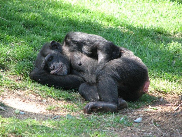 In the early 70s, Nim Chimpsky, a chimpanzee named after the great linguist Noam Chomsky, managed to learn parts of American sign language but failed to learn to use grammar. Image source: purpleairplane via Wikimedia Commons