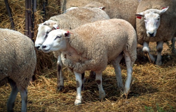 The male Texel sheep that had its genome sequenced for the project. (Image: Brad Freking, US Animal Meat Research Centre)