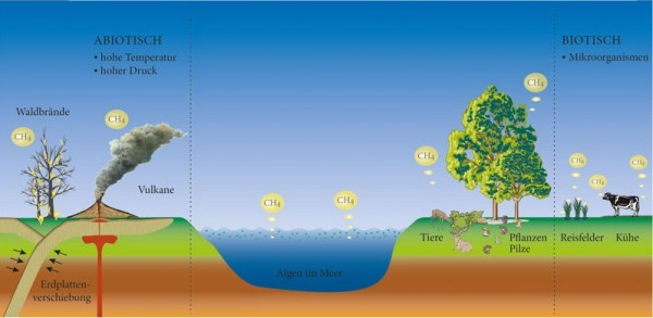 Many sources for a greenhouse gas: For decades scientists only knew volcanoes and forest fires as abiotic methane sources, in which the gas is formed in a non-biochemistry way. Microorganisms were considered as the only biotic source which produce methane without oxygen. In recent years, Frank Keppler and his team have found that plants, fungi and also mammals emit methane, and this, into the air. Whether this is biotic, i.e. catalysed by enzymes, or abiotic, and thus a purely chemical process, is currently being investigated by researchers. We have now established that hydrocarbon in plants is formed by the amino acid methionine. © Susanne Benner