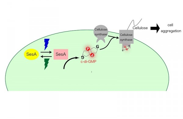 A proposed signaling pathway for SesA.  Blue-light irradiation photoconverts SesA into the active form, which catalyzes the formation of c-di-GMP via its diguanylate cyclase activity. When the cellulose synthase binds c-di-GMP, it produces cellulose. Extracellular cellulose accumulation results in cell aggregation. © 2014 Masahiko Ikeuchi.