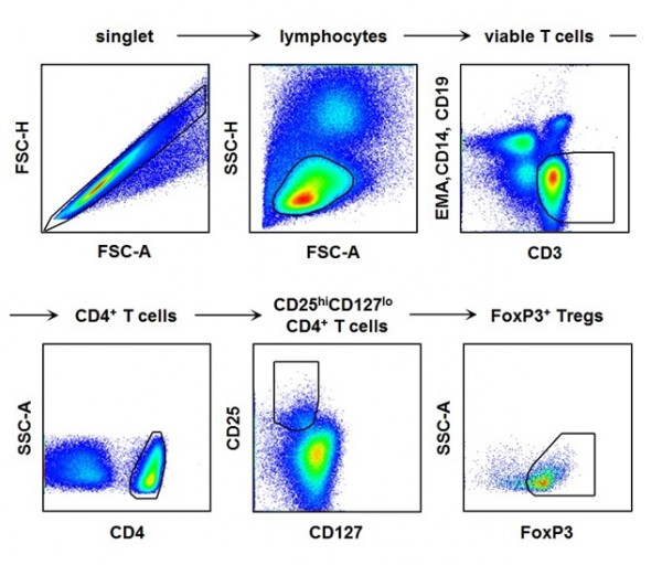 The picture shows the process of fluorescence flow cytometry technique to study regulatory T cell in the blood of hepatitis A patients.