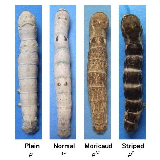 Four different mutants of the p allele of silkworm. The silkworm on the left has no markings at all. In contrast, a characteristic pattern of colored eye spots can be seen on the body segments of the next silkworm. The dark pattern of the third larva resembles that of the wild silkmoth, Bombyx mandarina. Bold black stripes can be observed on each body segment. In addition to these, 11 different mutants with different patterns are known. © 2014 Haruhiko Fujiwara.