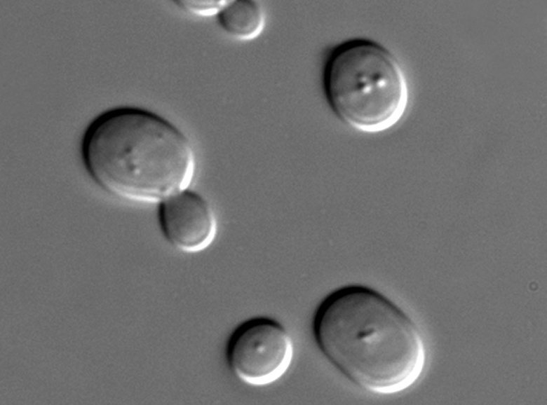 Saccharomyces cerevisiae cells in DIC microscopy. Saccharomyces cerevisiae was the first eukaryotic organism to have its complete genome sequence determined. Image credit: Masur via Wikipedia.