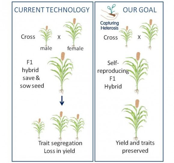 The team aims to capture heterosis (hybrid vigour) in cowpea and sorghum crops.
