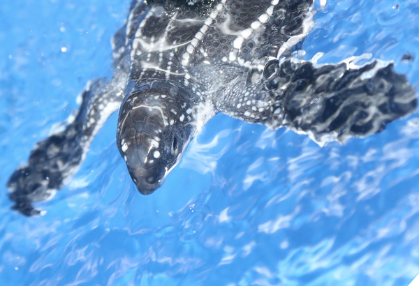 Scientists studied newborn leatherback sea turtles to create the first models of a swimming animal. Challenges to measuring forces like drag and thrust made this difficult before, but the research team overcame these, offering the opportunity for many more to benefit from their findings. Photo courtesy of Jeanette Wyneken, Florida Atlantic University