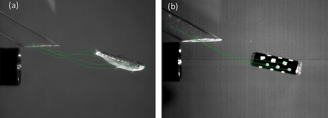 A live juvenile fish (left) and the previous version of the Sensor Fish (right) are shown side-by-side as they're exposed to a simulated dam turbine environment. This test helped PNNL researchers correlate the injuries some fish experience with the Sensor Fish's measurements.