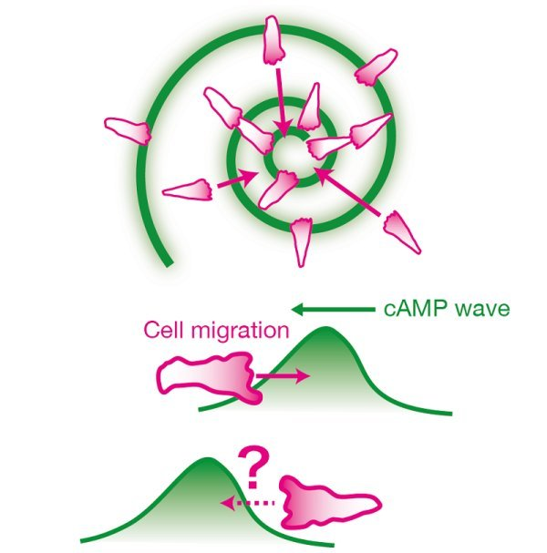 Dictyostelium cells aggregate by moving towards the propagating waves of chemoattractant cyclic AMP (cAMP) (top). If the direction of cell motion is dictated solely by the gradient of attractant concentration, cells should move in the reverse direction on the back of the wave (bottom) and would thus be unable to gather together. The work revealed that cells are able to discriminate between the front and the back of the wave mainly by ignoring attractant gradients that are decreasing over time. © 2014 Akihiko Nakajima and Satoshi Sawai.