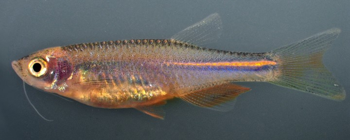 Researchers have determined it's a certain gene that keeps pigment cells dispersed and gives the pearl danio its uniform orange color. By expressing this gene the same way in zebrafish, the zebrafish pigment cells also remained intermingled and the fish were essentially stripped of their stripes. Image credit: D Parichy Lab/University of Washington