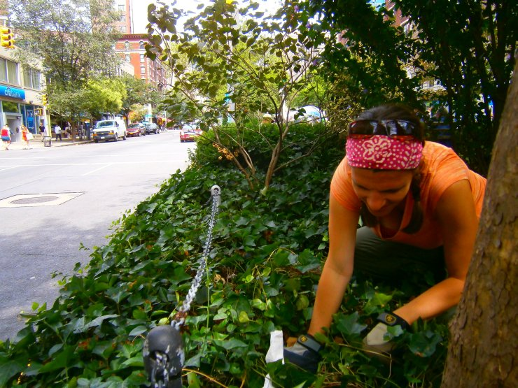 Amy Savage, collecting samples on a street median in Manhattan. Photo credit: Shelby Anderson