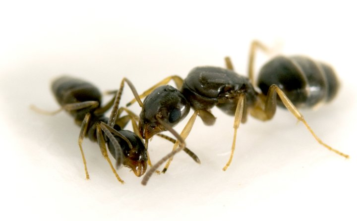 The odorous house ant (Tapinoma sessile) was the most common species found in parks and forests, but was absent in street medians. Photo credit: Adrian Smith
