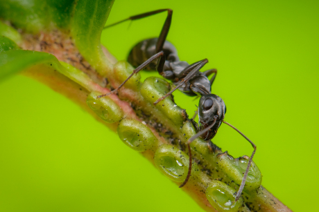 An ant drinking nectar from an extrafloral nectary on a leaf of Viburnum sargentii at Cornell Plantations. Image credit: Ellen Woods