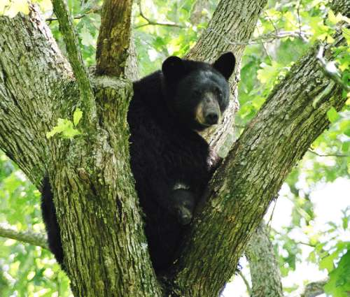 A threatened Louisiana black bear and her cubs up in a tree. Image credit: Clint Turnage /USGS