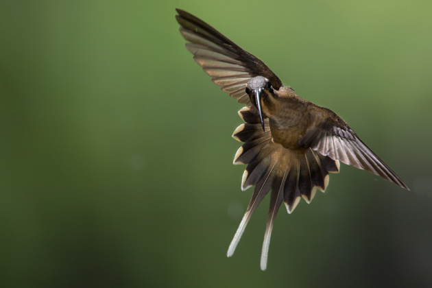 A long-billed hermit in flight, at Cope Wildlife, Guapiles, Costa Rica. (Photo by Chris Jimenez)