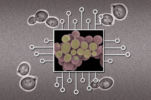 Illustration: Christine Daniloff/MIT (yeast cell images from National Institutes of Health)