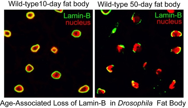 This image shows a comparison of lamin-B in the fat bodies of 10-day-old and 50-day-old fruit flies. It is provided courtesy of Yixian Zheng.