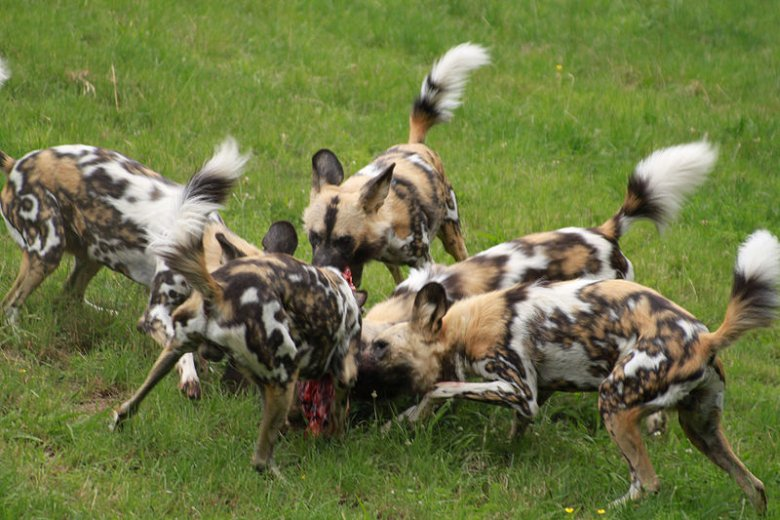 Wild dogs Lycaon pictus, at a zoo in New Zealand. Image credit: Brian Gratwicke via Flickr, CC BY 2.0.