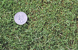 ARS researchers and their colleagues have completed the first genetic linkage map of creeping bentgrass, a popular turfgrass. Photo, Scott Warnke, ARS.