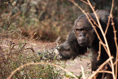 Large male chimpanzee in the wild. Photo by: Ian Gilby