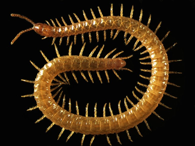 Strigamia maritima, the centipede species genetically sequenced in the study. (Photo credit: Dr. Carlo Brena)