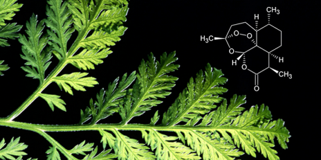 Nature holds the key to new substances against a variety of medical problems. One example is the malaria drug Artemsinin from annual wormwood Artemisia annua. (Photo: Keystone / Science Photo Library, Scott Bauer / Montage: ETH Zurich)
