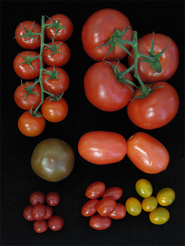 With multiple genetic variants, breeders can combine different mutations to provide a new optimum for their particular tomato variety (as shown above) and growing conditions.