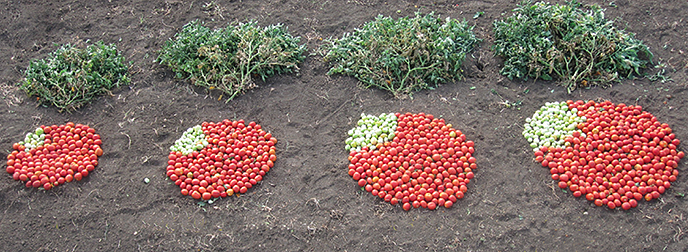 CSHL scientists have identified a set of genetic variants that can dramatically increase tomato production. On the far left is the average yield from a plant that grows standard canning tomatoes. The next three piles were produced by plants with mutations found in the toolkit. The combination of genetic mutations on the far right produces twice as many tomatoes as the standard variety.