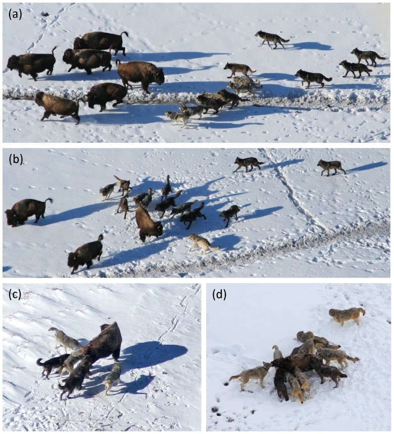 Picture: Behavior of wolves hunting bison: (a) approach, (b) attack-individual, (c, d) capture. Image courtesy of the researchers.