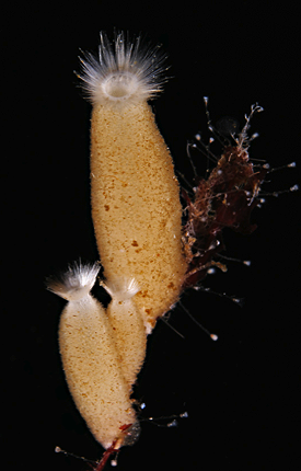 Three specimens of Sycon ciliatum, calcareous sponges from the Norwegian fjords. Genome of this species contains a surprising array of genes similar to those governing development of humans, including a ParaHox gene reported by Mendivil Ramos and colleagues in the current issue of Nature. Photo credit: M. Adamski