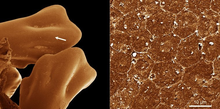 Chicken feet and skin-cells turned to glass by the Sandia and University of New Mexico silicizing process. (Image courtesy of Sandia National Laboratories)