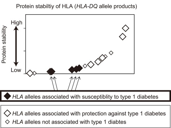 The graph shows protein stability of HLA (HLA-DQ) measured for the major HLA alleles in Japanese and European populations. HLA proteins are displayed in order of increasing protein stability (x-axis) with estimated protein stability of HLA plotted on the y-axis. This study revealed that HLA alleles that are associated with type 1 diabetes mostly encoded unstable proteins, whereas HLA alleles that are associated with protection against type 1 diabetes generated extremely stable proteins. © 2014 Hiroko Miyadera.
