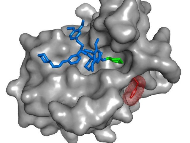 The SAFit-ligand (blue/green) is a highly selective inhibitor of FKBP51 (grey), a risk factor for stress-related psychiatric disorders. The binding of SAFit induces a conformational change (red protein side chain) in FKBP51, but not in its very similar functional counterplayer FKBP52. © MPI of Psychiatry / Felix Hausch
