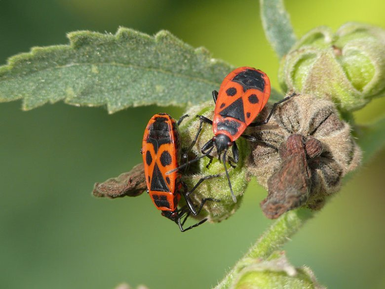 The European firebug Pyrrhocoris apterus, which is often found under linden trees obtains its vitamin supply by using the service of symbiotic gut bacteria. © MPI f. Chemical Ecology/ M. Kaltenpoth