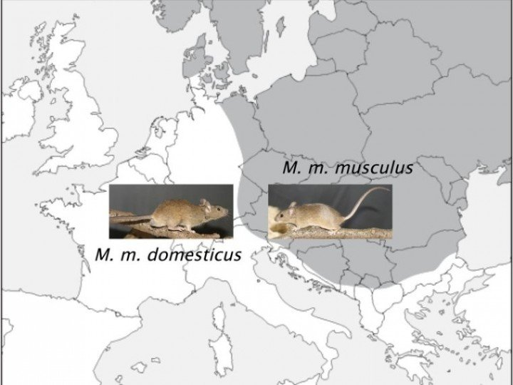 The distribution of the house mouse subspecies cuts across Central Europe: Mus musculus musculus lives to the east, Mus musculus domesticus to west. In the border region, the two sub-species mix. © MPI for Evolutionary Biology/ B. Harr