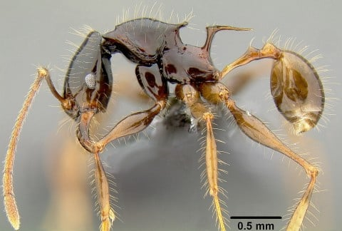 This rare species of Pheidole, discovered in 2008, is only found on two small Pacific Islands.  The function of the exaggerated spines is unknown, but has evolved independently several times during the evolution of Pheidole. Prof. Economo and colleagues are investigating how these changes are related to shifts in ecological strategy. Credit: Eli M. Sarnat, AntWeb
