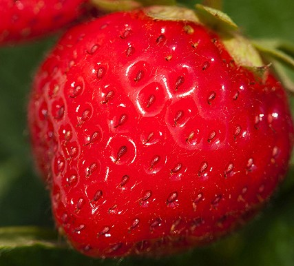 """Using a new test, ARS scientists have determined that strawberries contain higher levels of healthful compounds known as """"phenolics"""" than previously thought. Photo by Peggy Greb."""