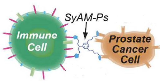A new group of molecules called SyAM-Ps can prompt the immune system to attack prostate cancer cells. Credit: American Chemical Society
