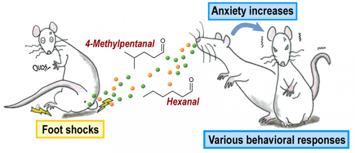 A pheromone that transmits danger signals in rats is released from the perianal region, and increases anxiety in other rats. © 2014 Yukari Takeuchi.