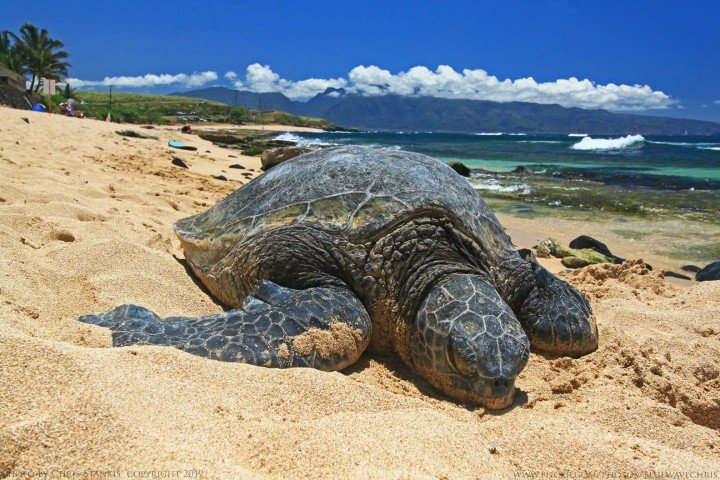 This is a green turtle basking at Paia, Maui. Image credit: Chris Stankis