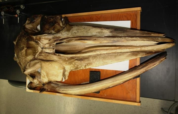 The fin whale skull in this study now resides in SDSU's Museum of Biodiversity. Photo: Jeneene Chatowsky