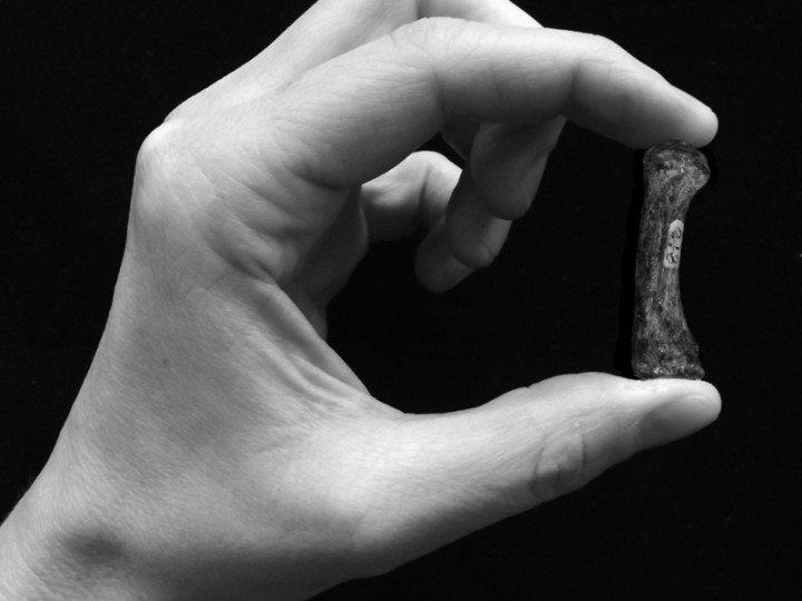 A human forceful precision grip, grasping a Australopithecus africanus first metacarpal of the thumb. © Tracy Kivell & Matthew Skinner