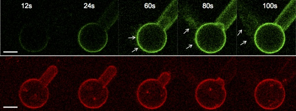 Model cell membranes, red, were partially sucked into a pipette. Proteins, green, pulled the membrane out during endocytosis.