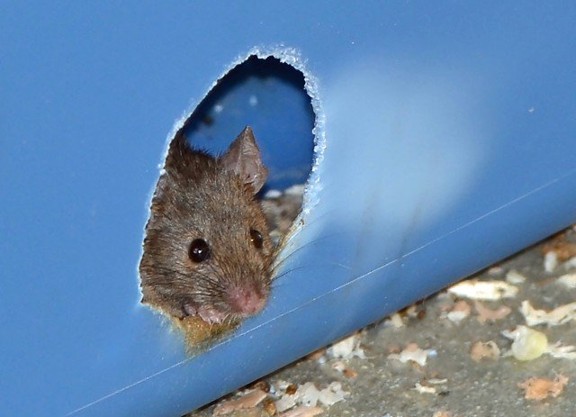A mouse peers out from a nesting box during a University of Utah study that found the fructose-glucose combination in high-fructose corn syrup is more toxic in mice than the fructose-glucose compound known as sucrose, or table sugar. Photo Credit: Douglas Cornwall, University of Utah