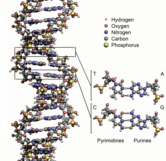 Deoxyribonucleic acid (DNA) is the genetic material for all known life on Earth. DNA is a biopolymer consisting of a string of subunits. The subunits consist of nucleotide base pairs containing a purine (adenine A, or guanine G) and a pyrimidine (thymine T, or cytosine C). DNA can contain nucleotide base pairs in any order without its chemical properties changing. This property is rare in biopolymers, and makes it possible for DNA to encode genetic information in the sequence of its base pairs. This stability is due to the fact that each base pair contains phosphate groups (consisting of phosphorus and oxygen atoms) on the outside with a net negative charge. These repeated negative charges make DNA a polyelectrolyte. Computational genomics researcher Steven Benner has hypothesized that alien genetic material will also be a polyelectrolyte biopolymer, and that chemical tests could therefore be devised to detect alien genetic molecules. Credit: Zephyris