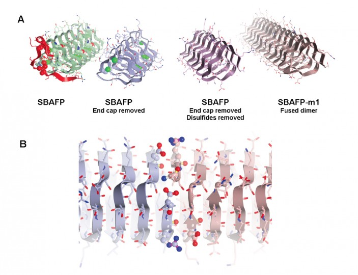 Making spruce budworm antifreeze protein into amyloid fibrils. The cap structure (red) was removed and other structures adjusted so that molecules could link up as fibrils (bottom).