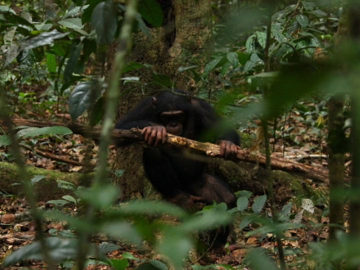 For selecting the right hammer chimps take into account where they crack the nuts. © MPI f. Evolutionary Anthropology/ Giulia Sirianni